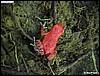 Dendrobates pumilio red frog beach