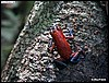 Dendrobates pumilio Cristóbal