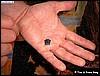 Azureus froglet