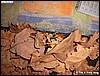 Tinctorius barzilian froglet