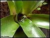 Dendrobates pumilio Chiriqi-Grande