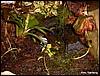 Dendrobates tinctorius