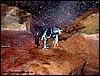 Dendrobates tinctorius Powder Blue (Vivarium Darmstadt / DE ))