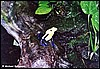 Dendrobates tinctorius Giant Yellow Back fem