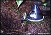 Dendrobates tinctorius green