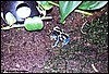 Dendrobates tinctorius Oyapok male
