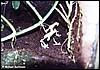 Dendrobates tinctorius Yellowback