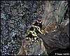 Dendrobatel leucomelas