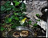 Mantella viridis