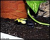 Dendrobates tinctorius Giant Yellow Back