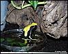 Dendrobates tinctorius Giant Yellow Back