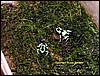 Dendrobates auratus juvenile