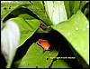 Dendrobates pumilio adult & juvenile