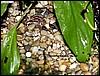 Epipedobates tricolor adult & juvenile