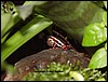 Epipedobates tricolor
