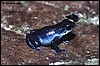Dendrobates pumilio blue