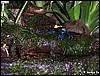 Dendrobates tinctorius brazilian
