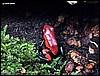 Dendrobates galactonotus red