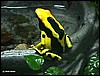 Dendrobates tinctorius Giant Orange