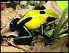 Dendrobates tinctorius Giant Yellowback