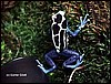Dendrobates tinctorius Pallid Morph