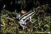 Dendrobates imitator - panguana