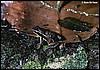 Epipedobates pictus