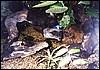 Dendrobates azureus & Colosthetus talamancae