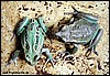 Gastrotheca cf. pseustes  ( juvenile )