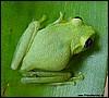 Boophis viridis fem