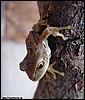 Gastrotheca cf. marsupiata juvenile