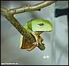 Phyllomedusa boliviana juvenile
