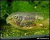 Smilisca phaeota tadpole