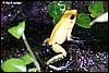 Phyllobates bicolor