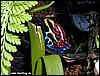 Dendrobates tinctorius & Epipedobates tricolor