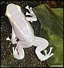 Dendrobates tinctorius Albino