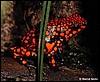 Dendrobates histrionicus