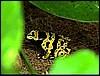 Dendrobates leucomelas