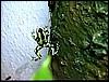 Dendrobates auratus Costa Rica