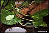 Agalychnis callidryas juvenile