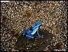 Azureus with tadpole
