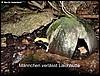 male leaves nut.