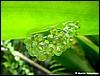 Agalychnis callidryas eggs