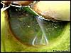Dendrobates pumilio Quappe in Bromelientrichter