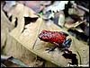 Dendrobates pumilio Siquirres juvenile