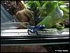 Dendrobates azureus juvenile