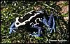 Dendrobates tinctorius White