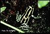 Dendrobates ventrimaculalus panguana
