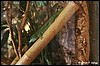 Phelsuma mad. grandis male