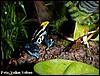Dendrobates tinctorius brasil